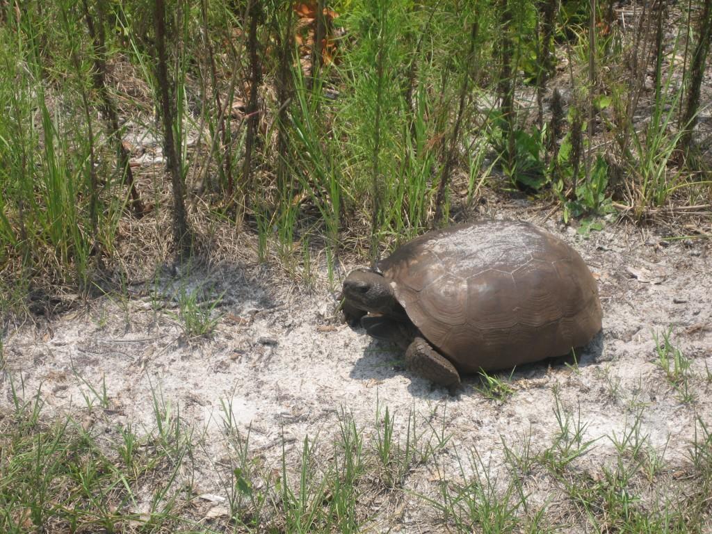 Gopher Tortoise_BC