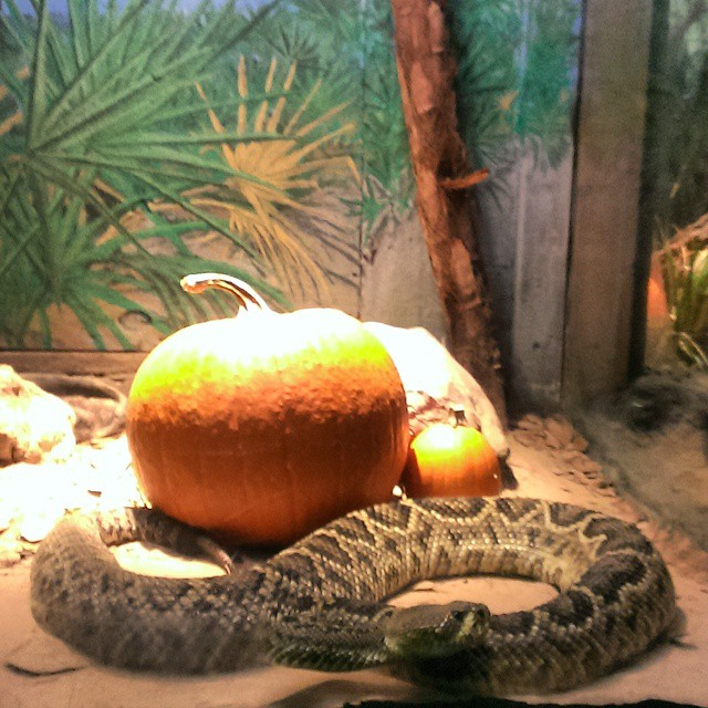 This Diamondback #Rattlesnake was happy to have guests for dinner. #ZooBoo #LowryParkZoo #trekarooing #Halloween #Tampa #thatssotampa #TBB @trekaroo @lowryparkzoo